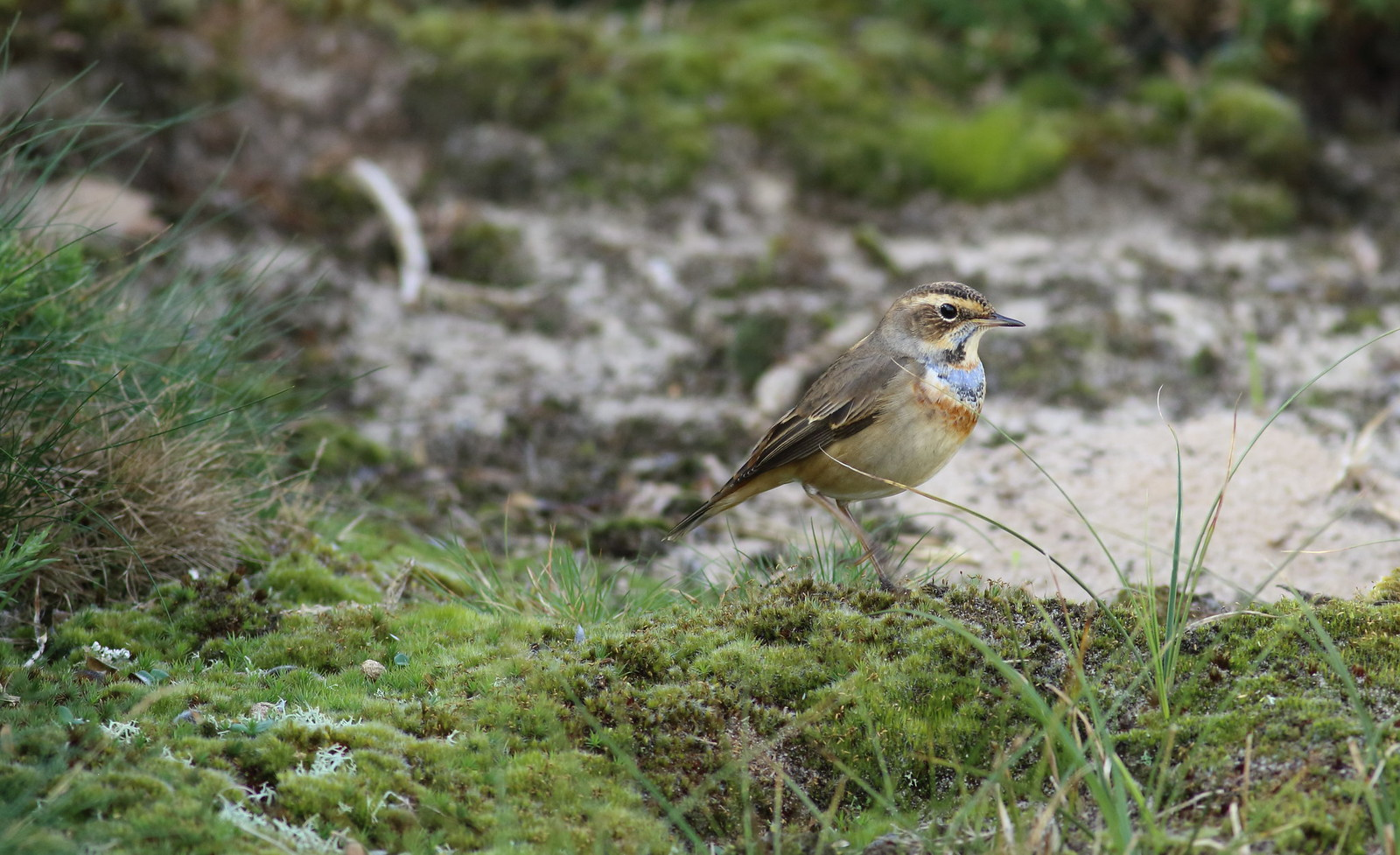 bluethroat04