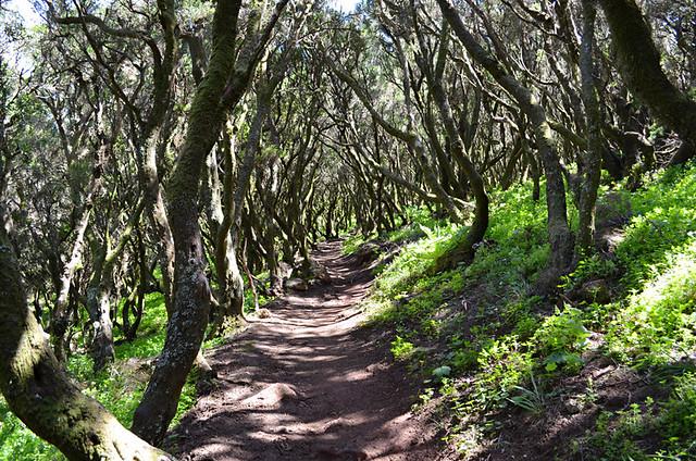 Dense forest, Teno, Tenerife