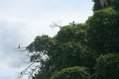 25 - Los Haitises national park - Young pelicans / Los Haitises Nationalpark - Junge Pelikane