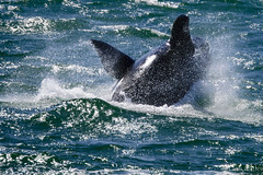 animal, marine mammal, fish, whale, sea, ocean, marine biology, killer whale, wind wave,