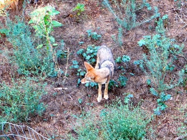 hello again, coyote
