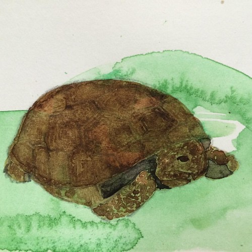 Gopher tortoise. #watercolor #Florida #everglades #savanas #tortoises #workonpaper