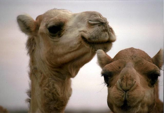 Libia - Camellos