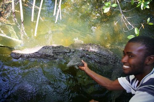 nature wildlife mangrove jamaica crocodile blackriver croc caribbean krokodil cariben tropischregenwoud