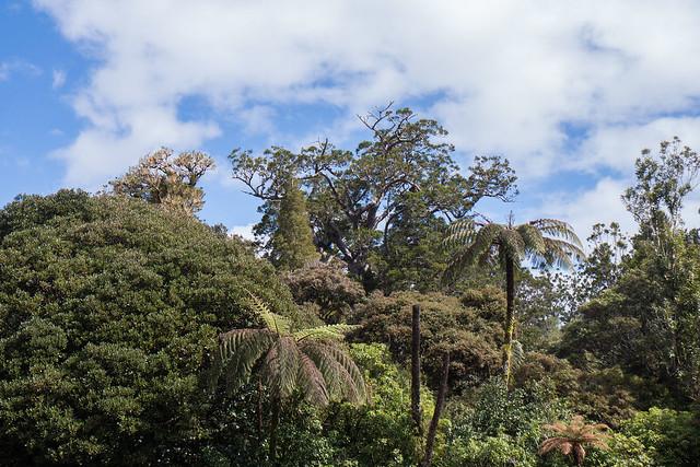 Waipuoa Forest Kauri Trees-4