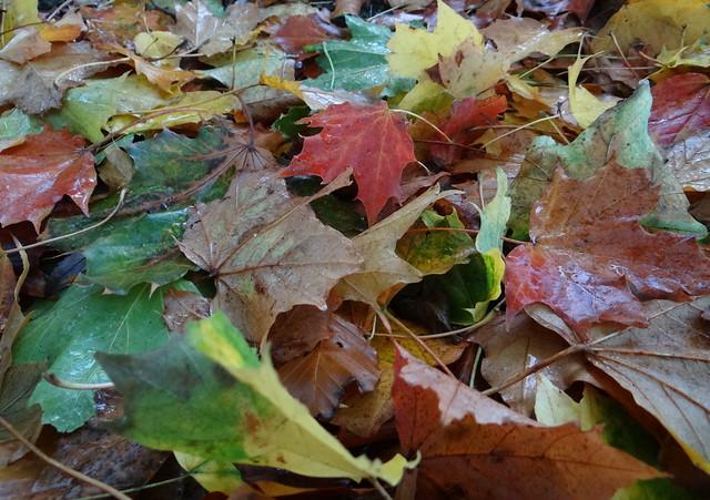 Autumn fallen leaves explore 21/10/16, Sony DSC-HX200V