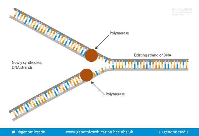 Process of DNA replication