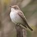 Spotted Flycatcher - Muscicapa striata - Grágrípur by *Jonina*