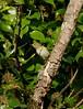 Yellow-browed Warbler, Tregarthen St Mary's 231016