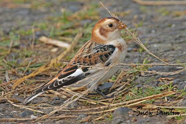 SNOW BUNTING SOUTH FORELAND, Canon EOS 7D MARK II, Canon EF 400mm f/4 DO IS