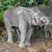 Borneo Pygmy Elephant (Clive Turnbull)