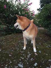 norwegian buhund(0.0), german spitz(0.0), dog breed(1.0), animal(1.0), west siberian laika(1.0), akita(1.0), dog(1.0), shiba inu(1.0), pet(1.0), shikoku(1.0), mammal(1.0), east siberian laika(1.0), finnish spitz(1.0), icelandic sheepdog(1.0),