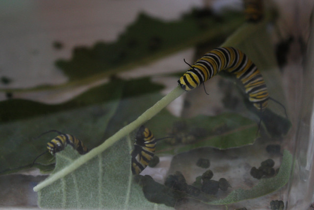 two big caterpillars in acrobatic poses while eating