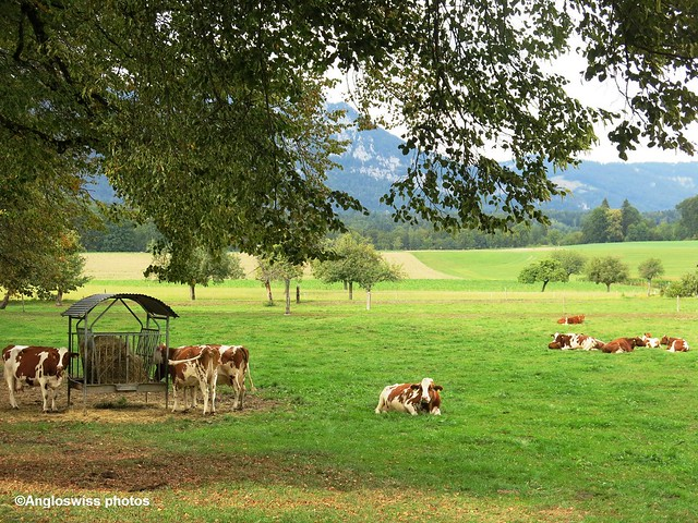 Cows in Feldbrunnen