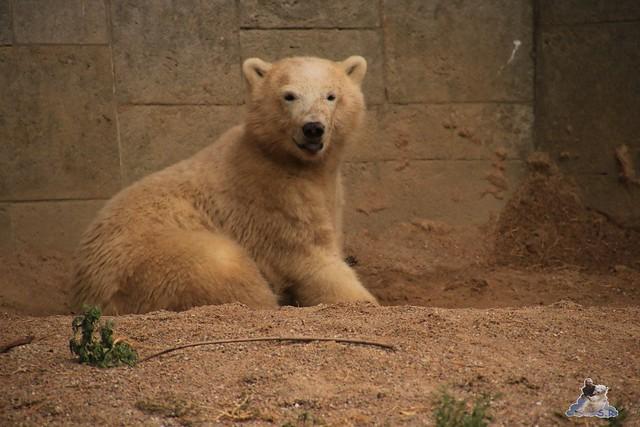 Eisbär Fiete im Zoo Rostock 05.09.2015 0356