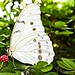 Beautiful Butterfly with a flower - White Morpho, or Polyphemus Morpho -- Morpho polyphemus.