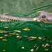 Small photo of Gharial