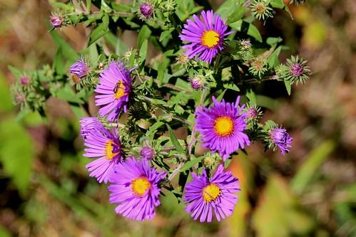 IMG_6156_Purple_Flowers
