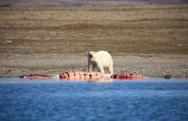 Adult Male Polar Bear Beluga Whale Kill Prince of Wales Island Canada Arctic