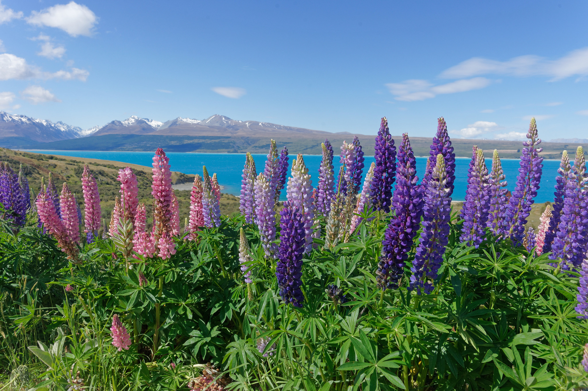 Lupins At Lake Pukaki