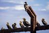 Cormorant Rail