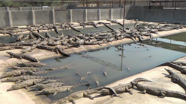 894b5e0e744c Zimbabwe s Crocodile Factory Farms Under Fire