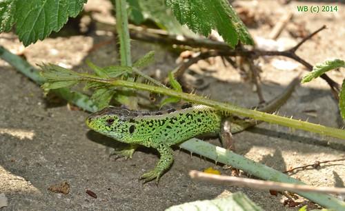 male green nature animal outdoor reptile natur eidechse hüllő fürgegyíklacertaagilishímzauneidechsesandlizard