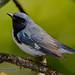 Reinita Azul...Black-throated blue warbler...Setophaga caerulescens....