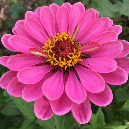 Friendly #zinnias @whitevioletcenter #flowers #flowergarden #indiana @spsmw #fall