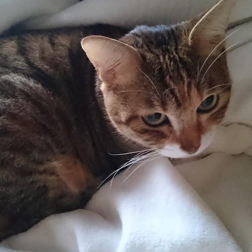 私の毛布の真ん中で丸くなるはな by Chinobu