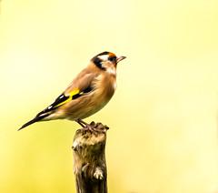 HolderGoldfinch