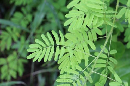 rota mimosa mimosainvisia fabaceae