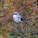 Great Grey Shrike.. by craigbell174