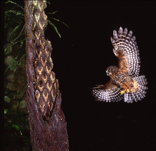A morepork in flight. Moreporks are New Zealand's ...