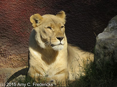 Los Angeles Zoo - Lioness