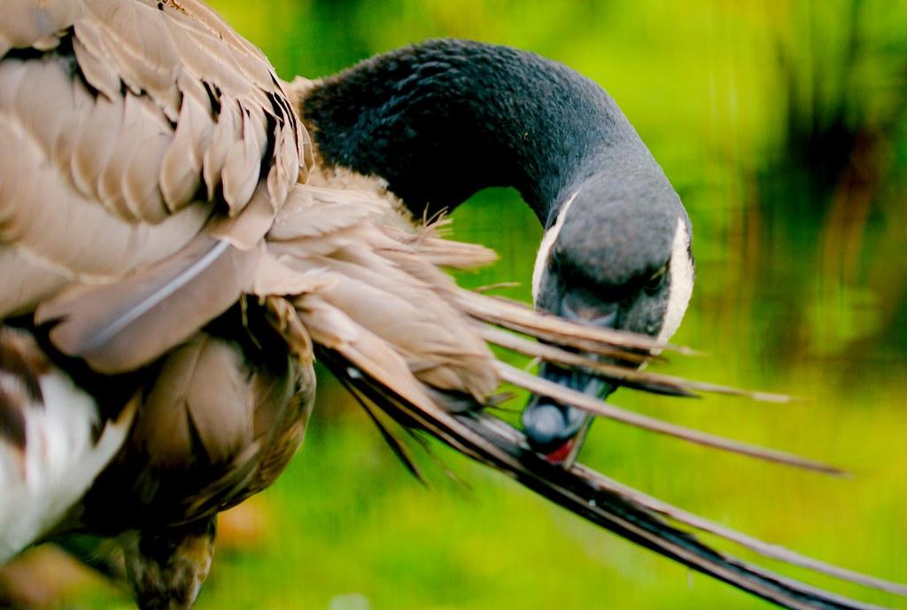 Canada Goose_1