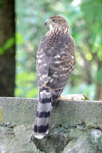 Cooper's Hawk #91 (Lifer #134)