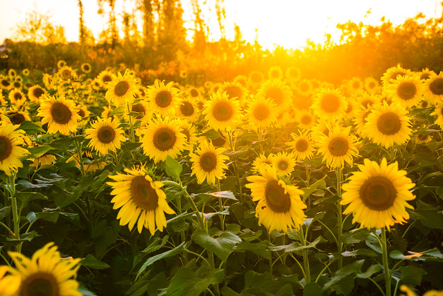 Avon Lake Sunflower Field