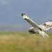 Short Eared Owl Uist Scotland TY_BB0T1260 by YOYO182