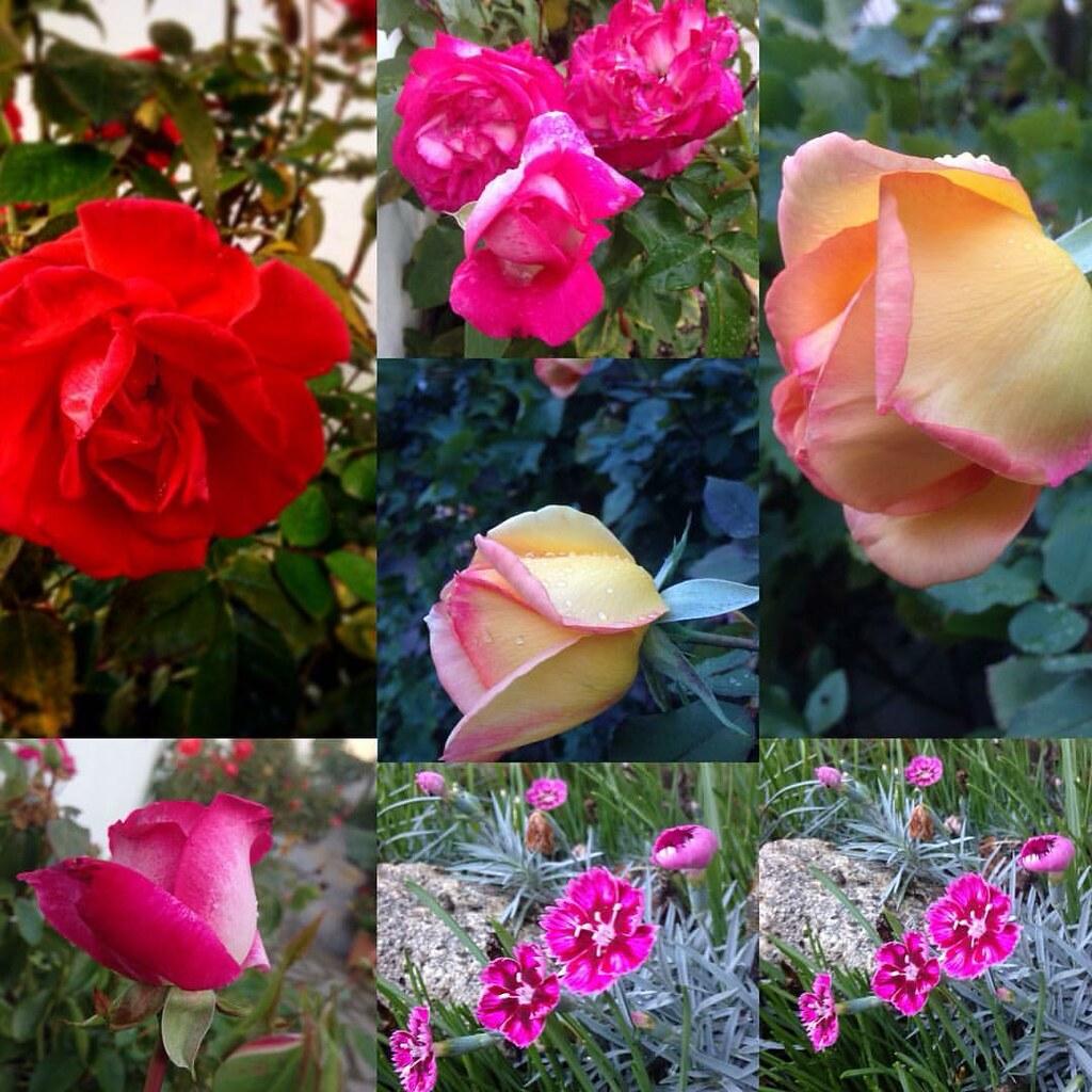 jardin d\'octobre à #croissysurseine #fleursdaline #roses ...