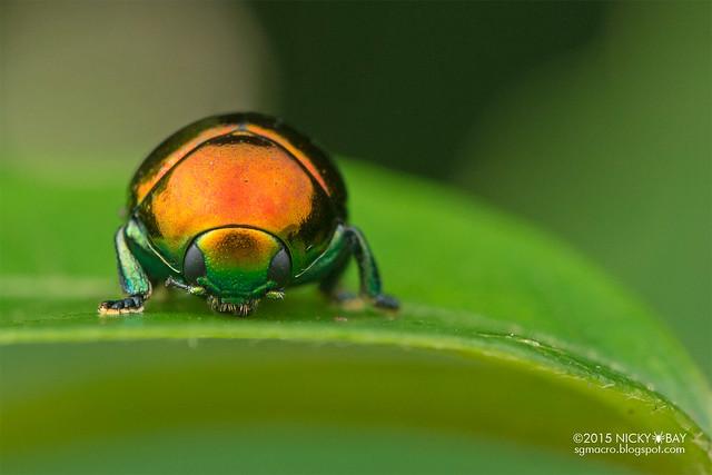 Leaf beetle (Lamprosomatinae) - DSC_8558