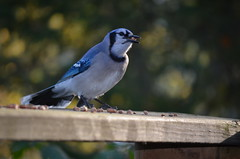pigeons and doves(0.0), branch(0.0), emberizidae(0.0), animal(1.0), wing(1.0), nature(1.0), fauna(1.0), finch(1.0), blue(1.0), blue jay(1.0), beak(1.0), bird(1.0), wildlife(1.0),