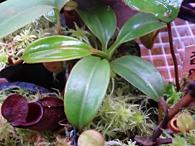 macrophylla AW