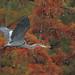 Reelfoot Lake - Great Blue Heron by asparks306