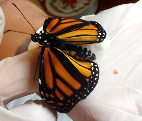 monarch with wings unfolded in a pair of gloved hands