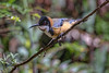 Eastern Spinebill 2015-11-28 (_MG_4411)