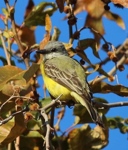 sunsetpark visalia couchskingbird tyrannuscouchii