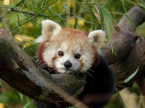 Roter Panda Zoo Duisburg