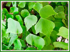 Adiantum trapeziforme (Giant/Diamond Maidenhair, Trapezoidal Maidenhair) with leaftlets that tend to point downwards, July 9, 2014