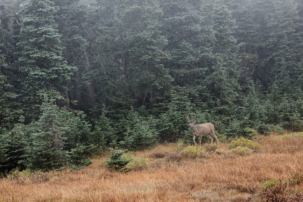 A black-tailed buck walks the border between a meadow and a small forest of subalpine firs in Hurricane Ridge